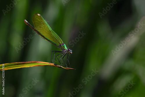 Fotografie, Obraz  one small green dragonfly sitting on a sheet
