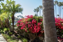 Bright Pink Bougainvillea And Palm Trees On A Costal Walkway