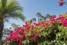 Bright Pink Bougainvillea And ...