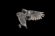 Eurasian Scops Owl (Otus Scops...