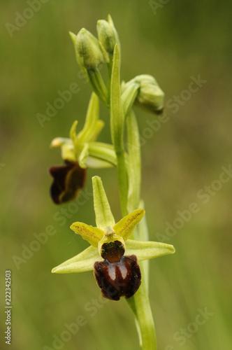 Αφίσα  Early Spider Orchid - Ophrys sphegodes, detail of flowers