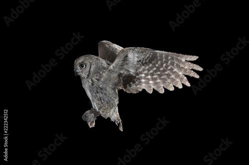 Fotobehang Uil Eurasian scops owl (Otus scops), flying, high speed photography, in flight at night