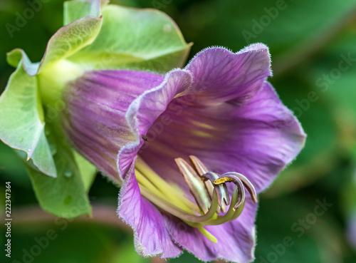 Fotografie, Obraz  lila farbene Trichterwindenblüte am Diemelradweg