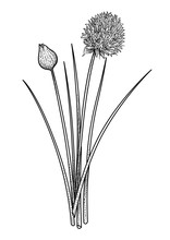 Chives Illustration, Drawing, ...