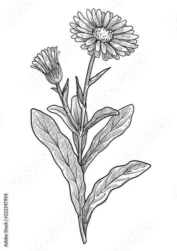 Obraz Calendula officinalis illustration, drawing, engraving, ink, line art, vector - fototapety do salonu