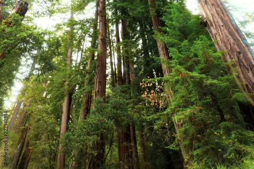 Photo  Low angle view of redwood tress in Big Basin State Park in California