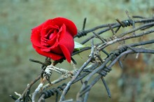 Red Rose, Bound With Barbed Wi...