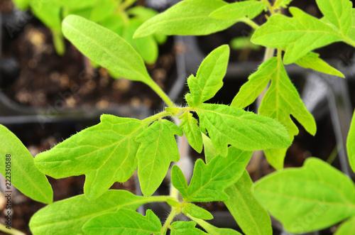 Foto  Green tomato seedling