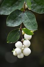 Branch And Berries Symphoricarpos Albus Blake