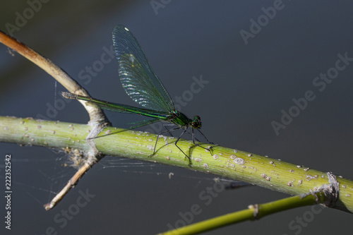 Fotografie, Obraz  one small wild green dragonfly sits on a branch above the water