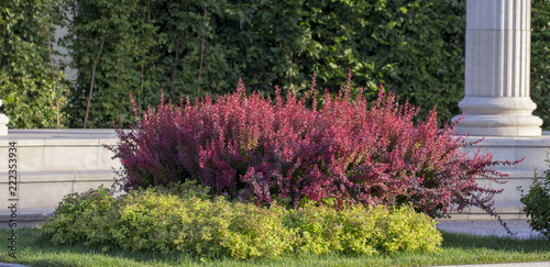 Barberry autumn bush with red leaves closeup Wallpaper Mural
