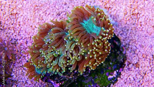 Elegance LPS coral - Catalaphyllia Jardinei