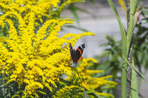 Photo butterfly on a blooming ambrosia