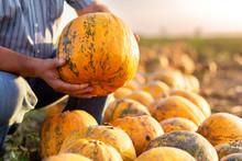 Close Up Of Senior Farmer Hands Examining Pumpkin Before Harvesting.