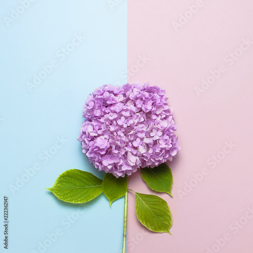 Tuinposter Hydrangea Lilac pink hydrangea flower on pastel blue and pink flat lay background. Mothers Day, Birthday, Valentines Day, Womens Day, celebration concept. Top view Floral border with copy space.