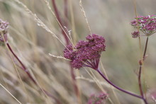Wallpaper Of A Purple Plant On A Dry Field