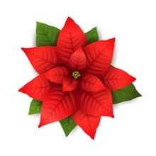 Poinsettia Vector Isolated Christmas Flower