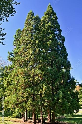 Obraz na płótnie A group of tall trees of the yew