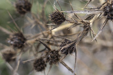 Dry  Thistle With Thorns