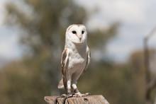 Barn Owl On A Post In A Wildli...