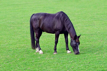 Grazing Black Horse On The Gre...