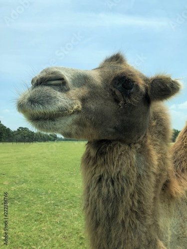 close up of a camel face