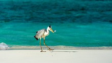 Heron Catching Fish In The Maldives.