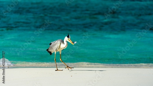 Fototapeta heron catching fish in the Maldives.