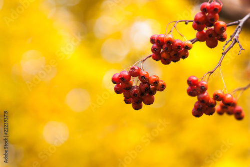 Tuinposter Wijngaard Four clusters of hawthorn berries, yellow background