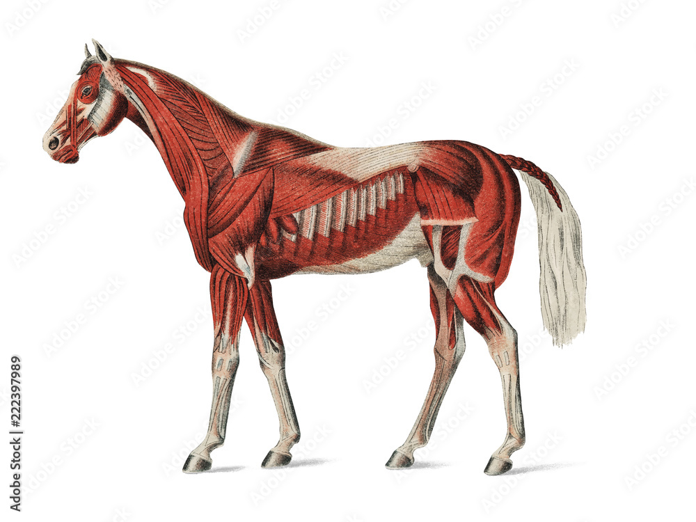 Fototapety, obrazy: Superficial Layer of Muscles by an unknown artist (1904), a medical illustration of equine muscular system. Digitally enhanced by rawpixel.