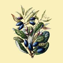 Antique Plant Beilschmiedia Taiaire Tawa Drawn By Sarah Featon (1848 - 1927). Digitally Enhanced By Rawpixel.