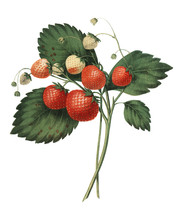 The Boston Pine Strawberry (1852) By Charles Hovey, A Vintage Illustration Of Fresh Strawberries. Digitally Enhancedby Rawpixel.