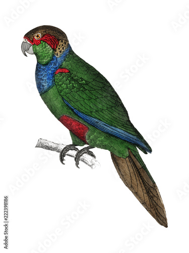 The History of the Earth and Animated Nature by Oliver Goldsmith (1774), a rare antique handcolored tableau of two parakeets Canvas Print