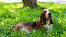 Basset Hound Dog In The Summer On The Street For A Walk
