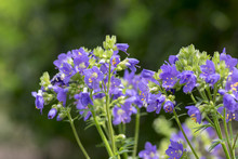 Polemonium Caeruleum Beautiful Flowers In Bloom, Wild Blue Flowering Plant