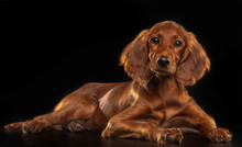 Setter Dog  Isolated  On Black Background In Studio