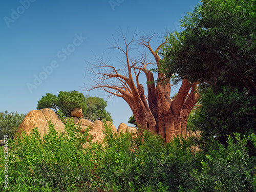 Keuken foto achterwand Baobab Exotic landscape with dry baobab tree surrounded by fresh greenery and yellowish stones