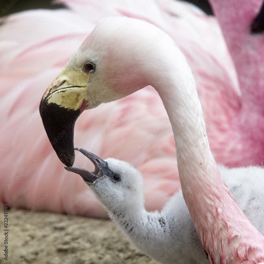 A parent feeding a chick, captive Andean Flamingos, Slimbridge WWT Centre, Gloucestershire, England, UK.