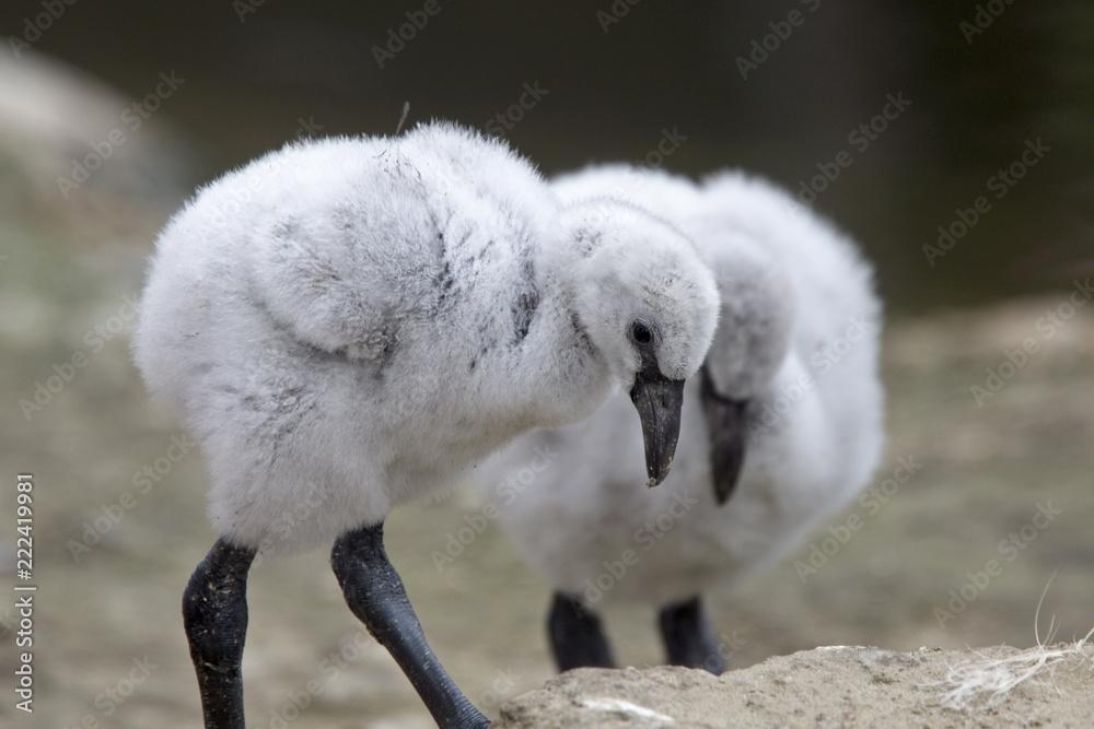 Two chicks of captive Andean Flamingos, Slimbridge WWT Centre, Gloucestershire, England, UK.
