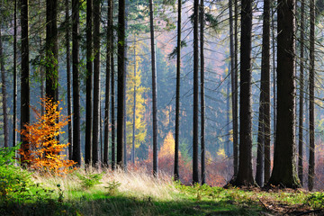 Spruce Tree Silhouettes in autumnal forest