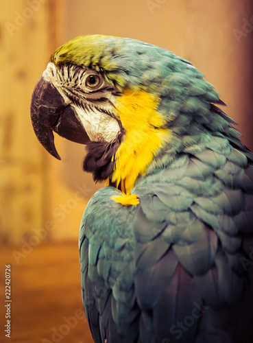 Deurstickers Papegaai Exotic wild parrot aura of blue-yellow color close-up at the zoo