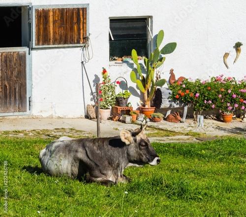 Tiroler Hörnerkuh