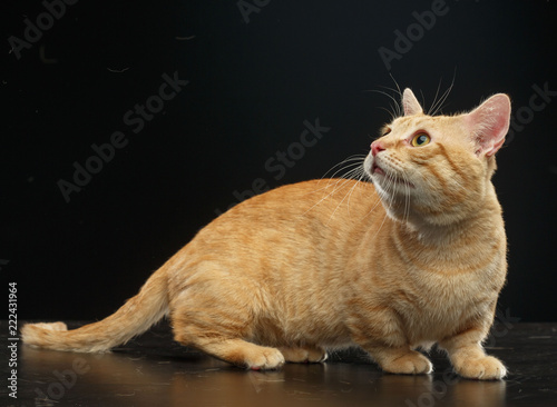 Fotografie, Obraz  Munchkin cat isolated on Black Background in studio