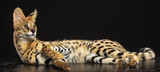 Fototapeta Sawanna - Serval cat isolated on Black Background in studio