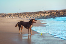 Dog Is Playing With Ball On The Beach