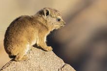 Namibia, Keetmanshoop, Rock Dassie, Procavia Capensis, Young Animal