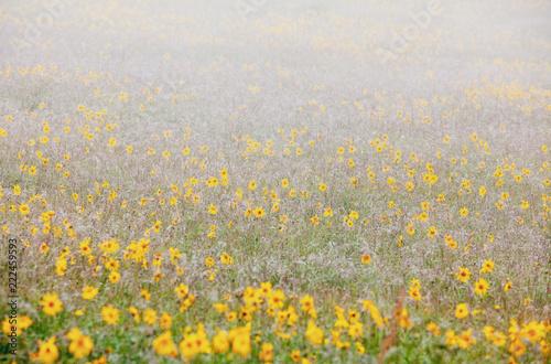 Fleurs jaunes arnica santé organique bien être