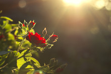 Red Rose In The Backyard Evening Light With A Beautiful Green Bokeh Background