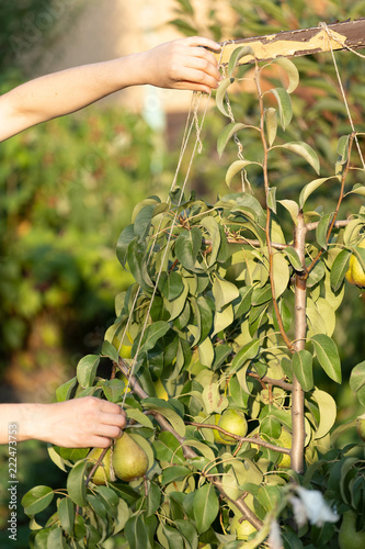 Profile side view close up cropped vertical photo of young girl, woman hands supports branches of beautiful, lovely, big green pears on a green deciduous fruit garden tree with a thread