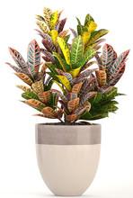 Croton In Pot. Exotic Plants